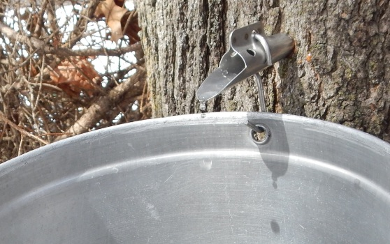 Sweet sap dripping from a maple tree